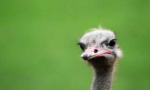 Ben je een struisvogel of een kakapo?